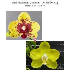Phal. Meidarland Goldsmith × I-Hsin Dorothy
