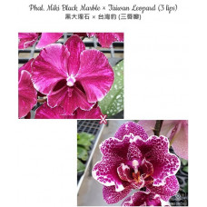 Phal. Miki Black Marble × Taiwan Leopard