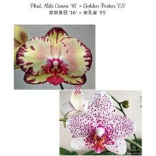 Phal. Miki Crown 16 × Golden Peoker ES