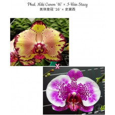 Phal. Miki Crown 16 × I-Hsin Stacy