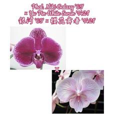 Phal. Miki Galaxy 69 × Yu Pin White Swan 1421