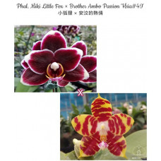 Phal. Miki Little Fox × Brother Ambo Passion Hsia 49