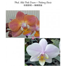 Phal. Miki Pink Dawn × Pinlong Cheris