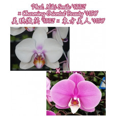 Phal. Miki Smile 1332 × Charming Oriental Beauty 1150