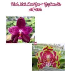 Phal. Mok Choi Yew × Yaphon Sir