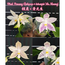 Phal. Penang Violacea × Tetraspis Mr. Huang