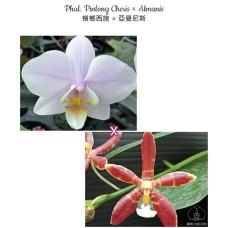 Phal. Pinlong Cheris × Almanis