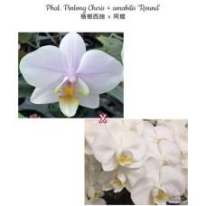 Phal. Pinlong Cheris × Amabilis Round