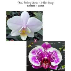Phal. Pinlong Cheris × I-Hsin Stacy