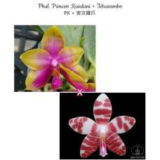 Phal. Princess Kaiulani × Tetrasambo PK