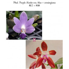 Phal. Purple Martin var. blue × Сorningiana