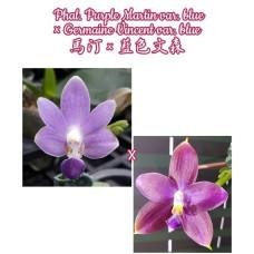 Phal. Purple Martin var. blue × Germaine Vincent var. blue