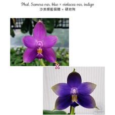 Phal. Samera var. blue × Violacea var. indigo