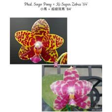 Phal. Sogo Pony × Ks Super Zebra 84