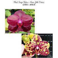 Phal. Sogo Relex × Haur Jhih Prince