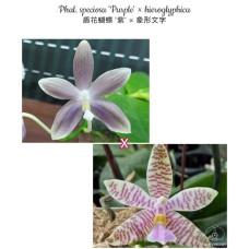 Phal. Speciosa Purple × Hieroglyphica