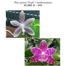 Phal. Speciosa Purple × Lueddemanniana