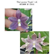 Phal. Speciosa Purple × sib 1,7