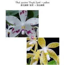 Phal. Speciosa Purple Spots × Pallens