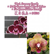 Phal. Summer Breath × (Arks Green Angel-Chia E Yeline × Sin Yaun Golden Beauty)