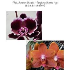 Phal. Summer Breath × Pingtung Bronze Age