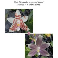 Phal. Tetrasambo × Speciosa Mauve