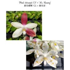 Phal. Tetraspis C1 x Mr. Huang