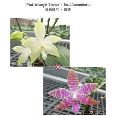 Phal. Tetraspis Green × Lueddemanniana