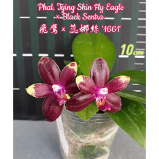 Phal. Tying Shin Fly Eagle × Sogo Relex 1661