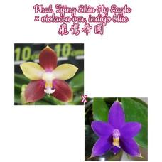 Phal. Tying Shin Fly Eagle × Violacea var. Indigo Blue