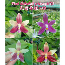 Phal. Valentinii × Tetraspis C1