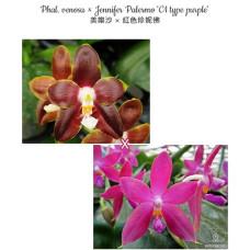 Phal. Venosa × Jennifer Palermo C1 Type Purple