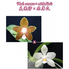 Phal. Venosa × Micholitzii