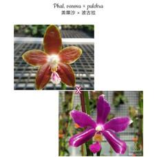 Phal. Venosa × Pulchra