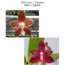 Phal. Venosa × Valentinii