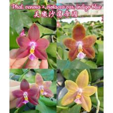 Phal. Venosa × Violacea var. Indigo Blue