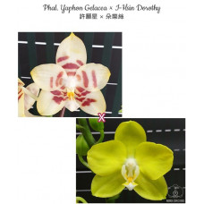 Phal. Yaphon Gelacea × I-Hsin Dorothy