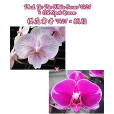 Phal. Yu Pin White Swan 1421 × OX Spot Queen
