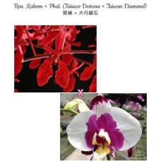 Ren. Kalsom × Phal. (Taisuco Desirous × Taiwan Diamond)
