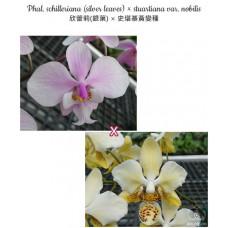 Phal. Schilleriana × Stuartiana var. Nobilis