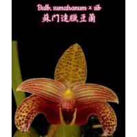 Bulb. Sumatranum