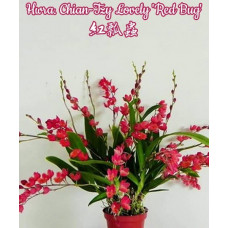 Hwra. Chian-Tzy Lovely Red Bug