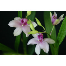Miltonia Strawberry Ice