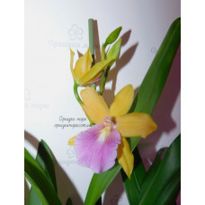 Miltonia Sunset взрослые
