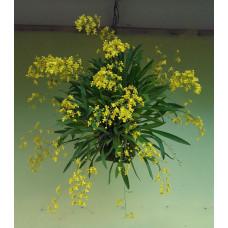 Onc. Cheirophorum
