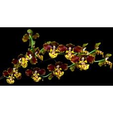 Onc. Sarcodes × sib