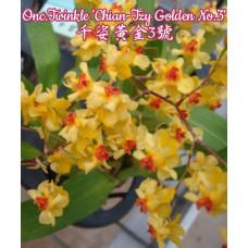 Onc. Twinkle Chian-Tzy Golden №3