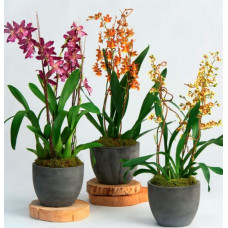Oncidium Mix