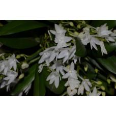 Aerangis Hyaloides 1,7