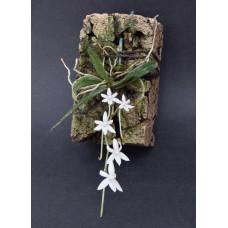Aerangis Articulata 2,5